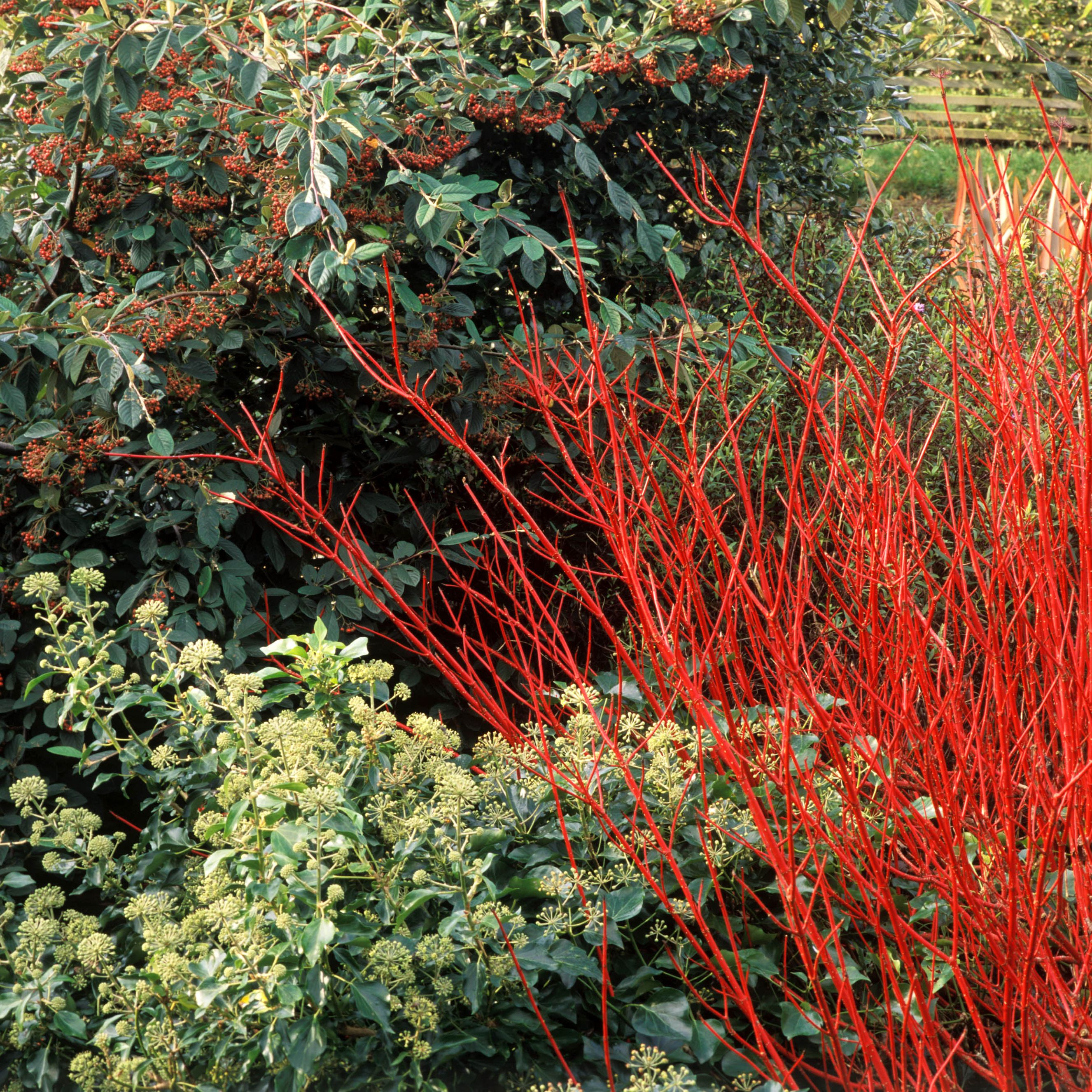 Care And Growing Guide For Red Twig Dogwood Shrubs