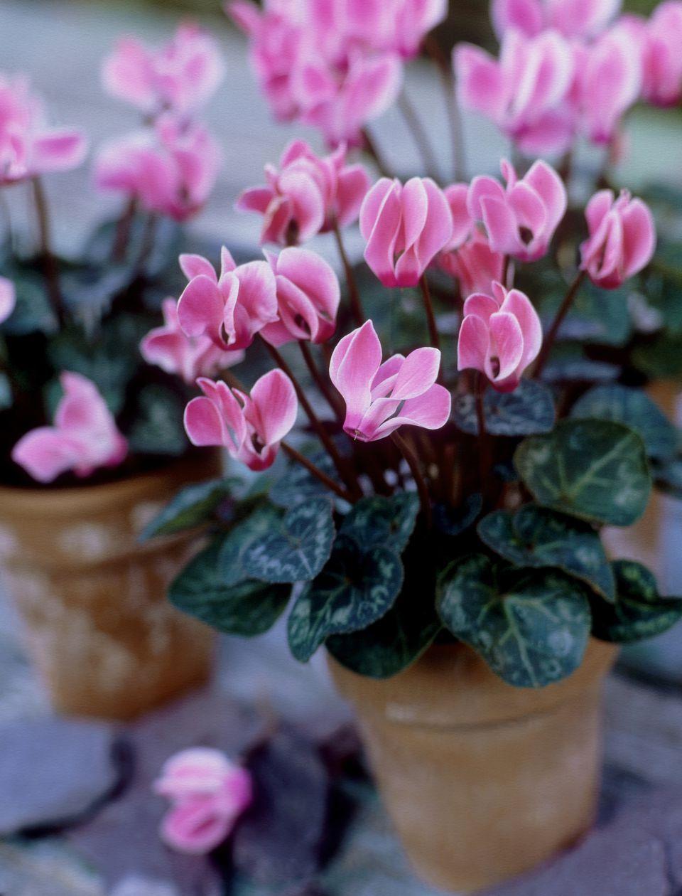 mini cyclamen in terracotta pots (close-up) november