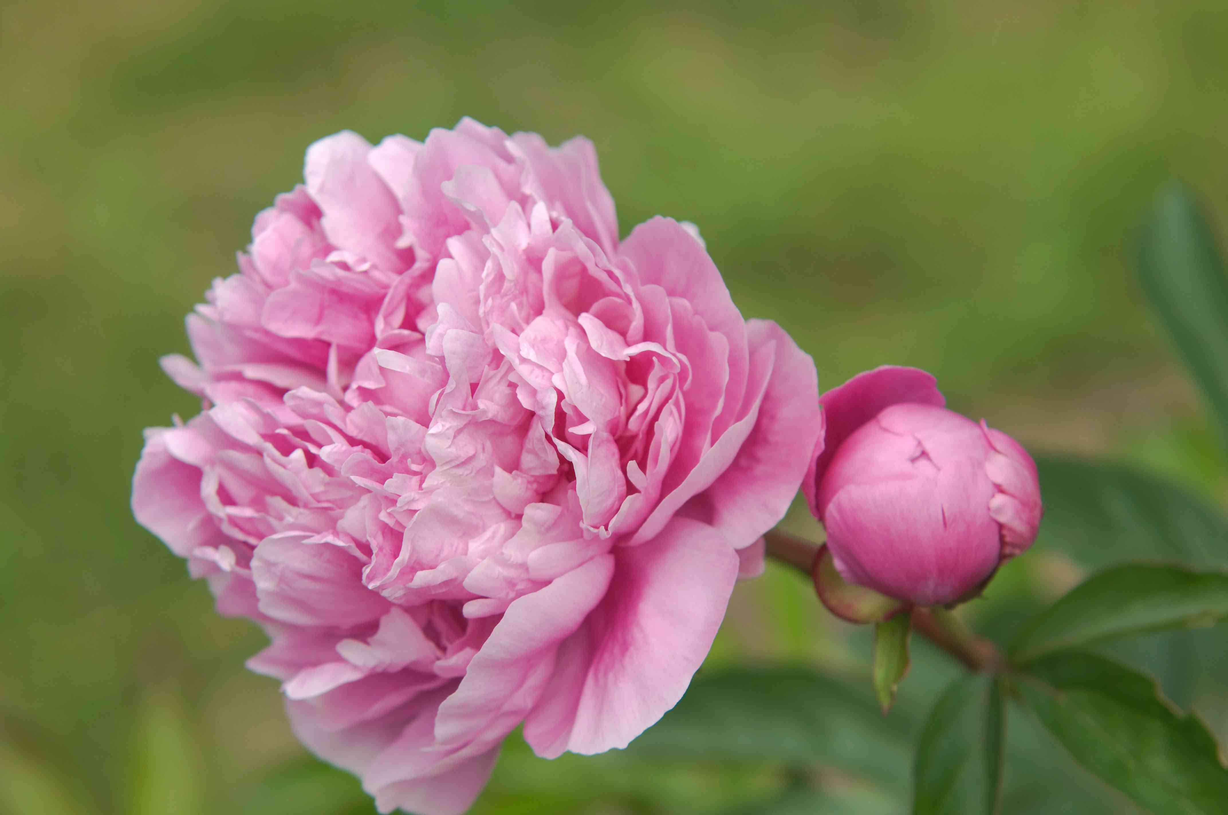 Madame Reignoux peony with light pink flowers and bud on stem closeup