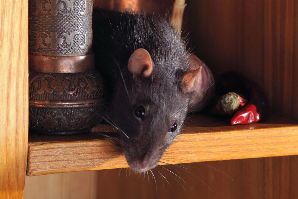 7 Poison-Free Ways to Rodent-Proof Your Home