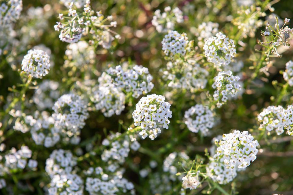 Sweet alyssum with white flowers closeup