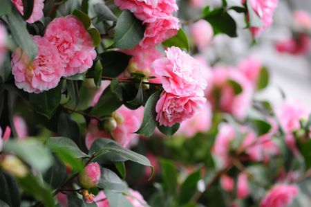 Camellia Flowers A Classic Southern Shrub