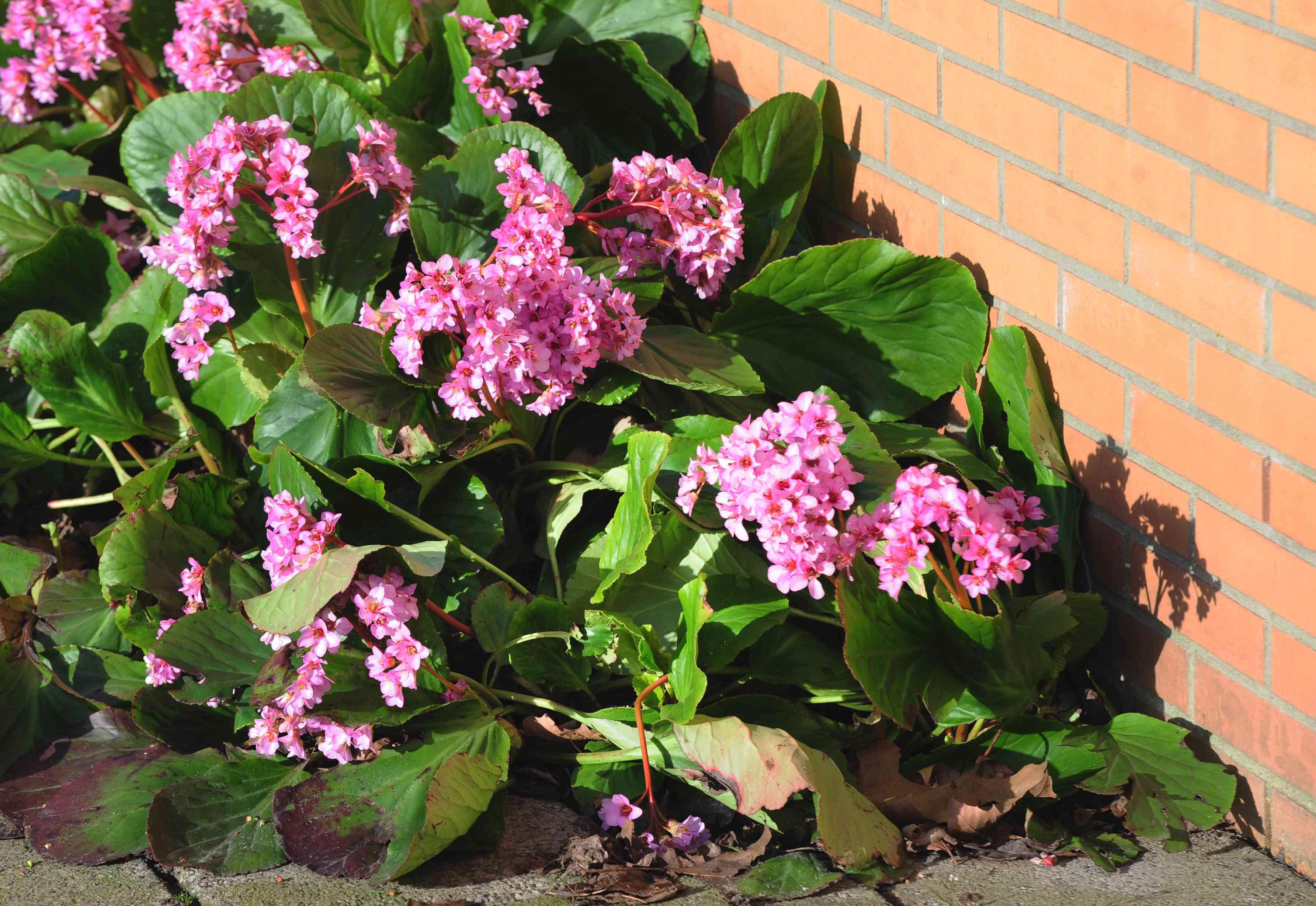 Bergenia plants