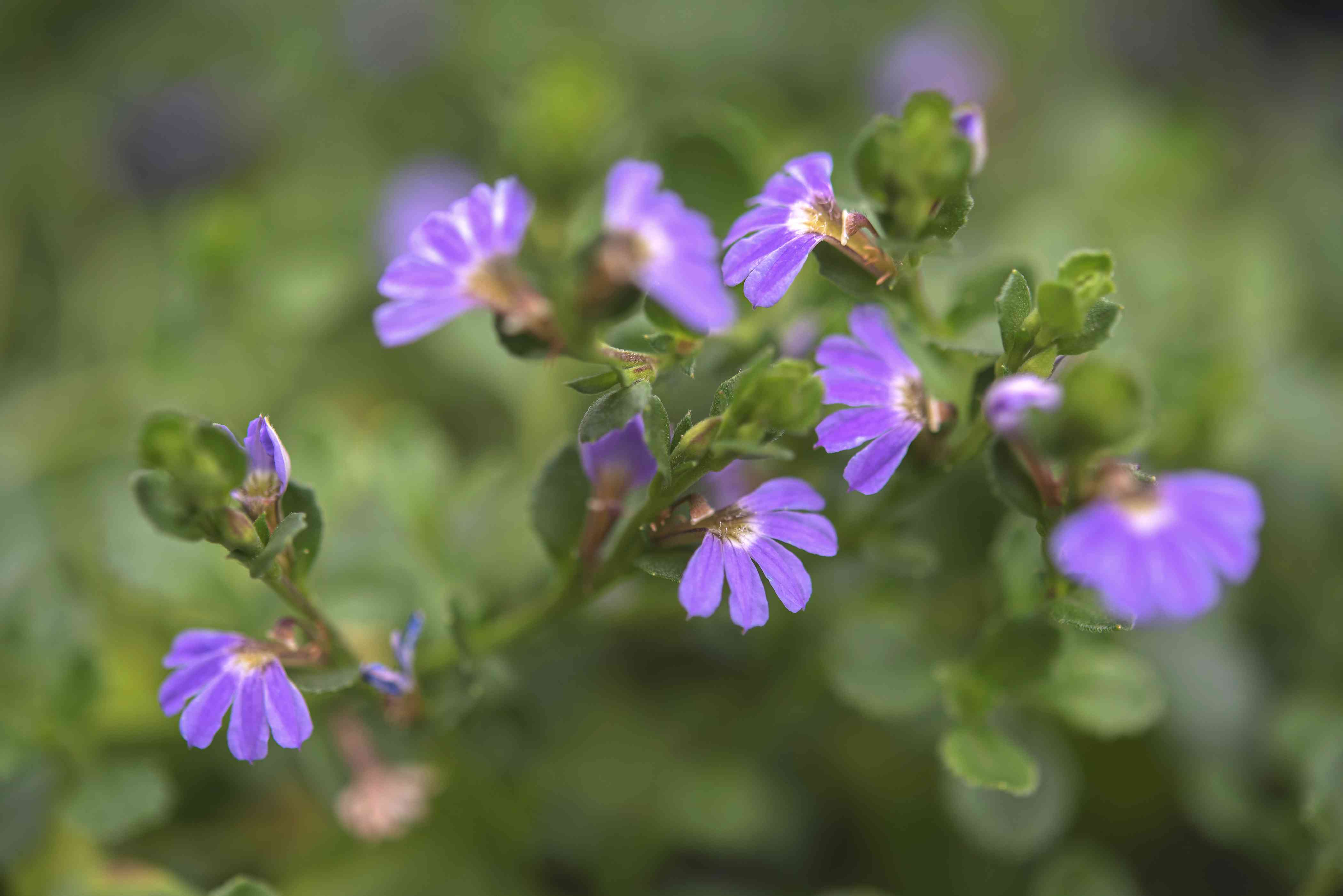 Scaevola plant with small purple flowers and leaves closeup