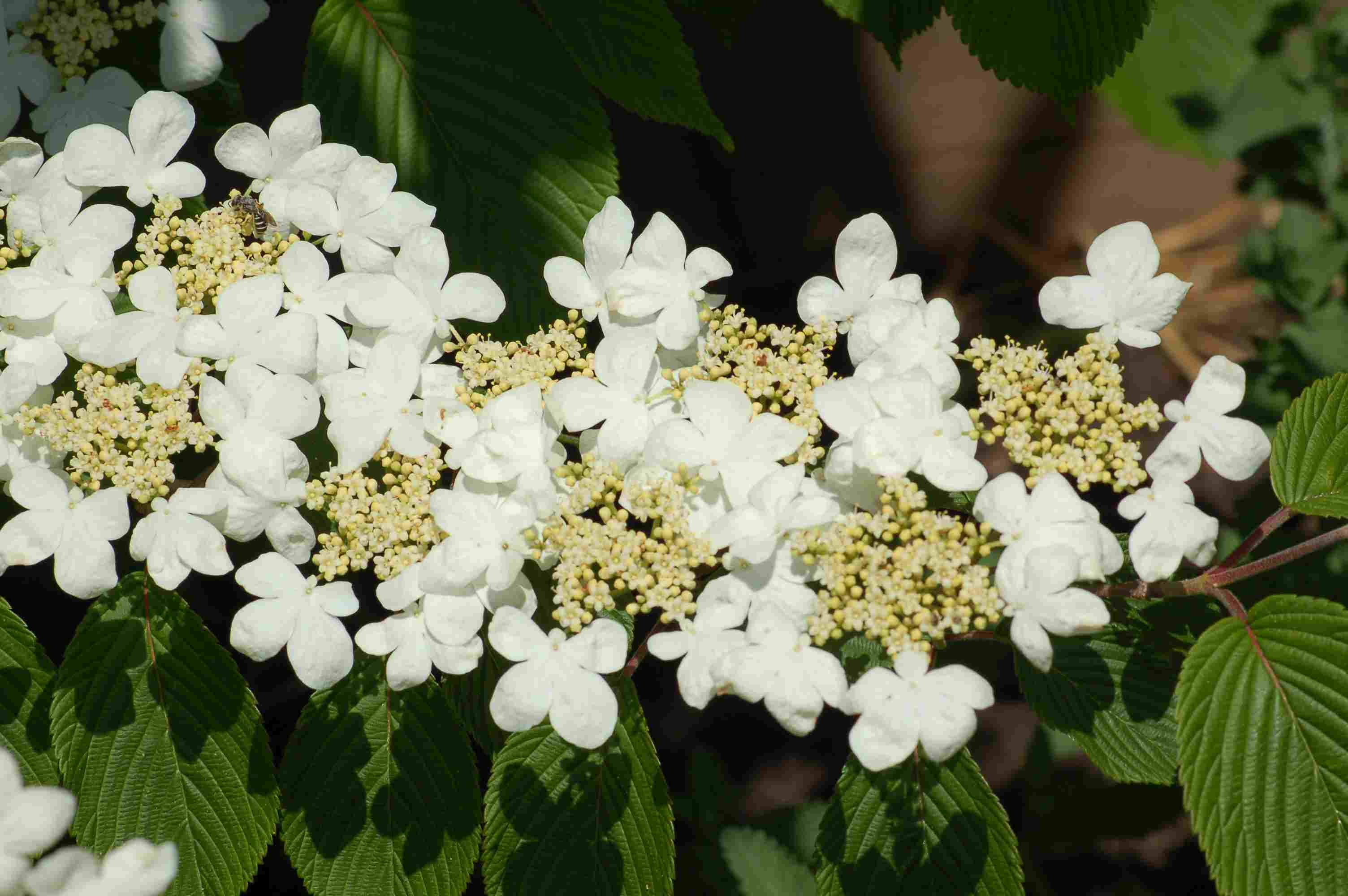Late Spring Blooming Shrubs Best Flowering Bushes