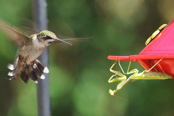 Hummingbird and praying mantis