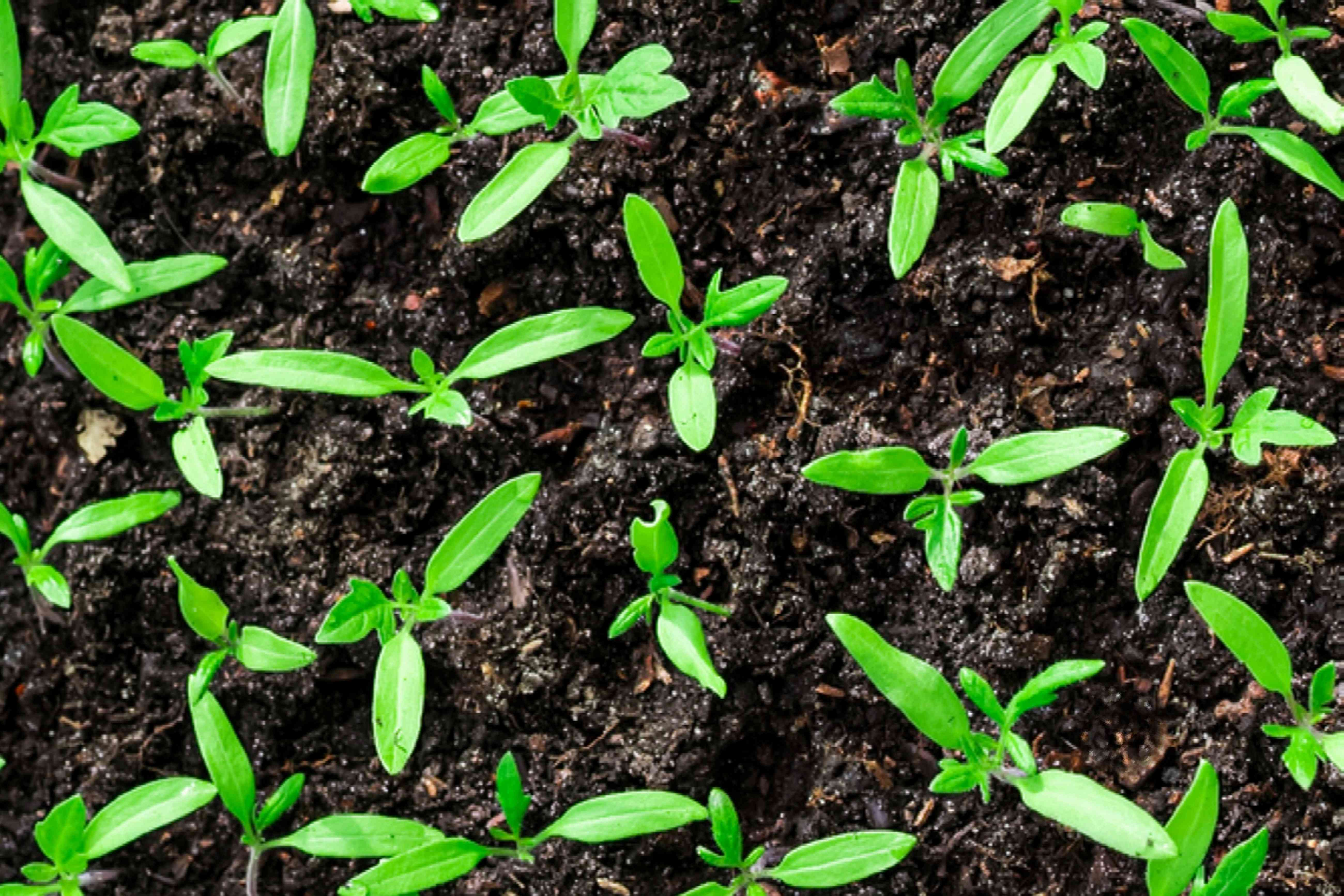 seedlings for transplant