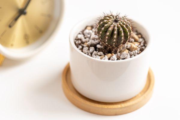 uebelmannia cactus