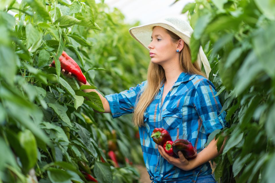 Young woman picking bell peppers