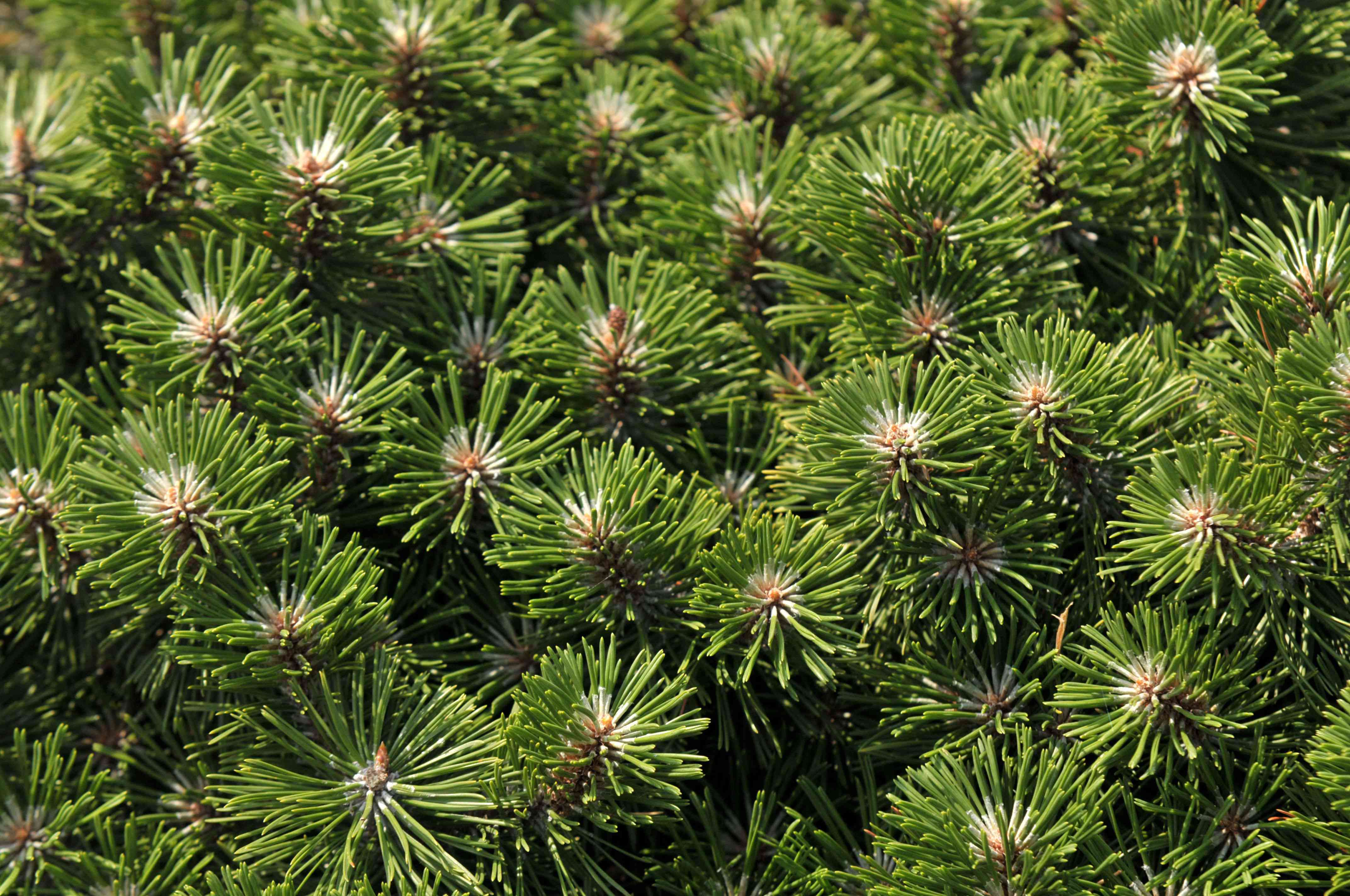 Mugo pine shrub with small needle-like leaves clustered together in sunlight closeup