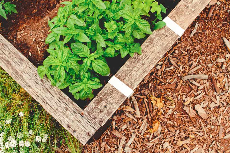 Fotografía cenital de una cama de jardín elevada con plantas de albahaca