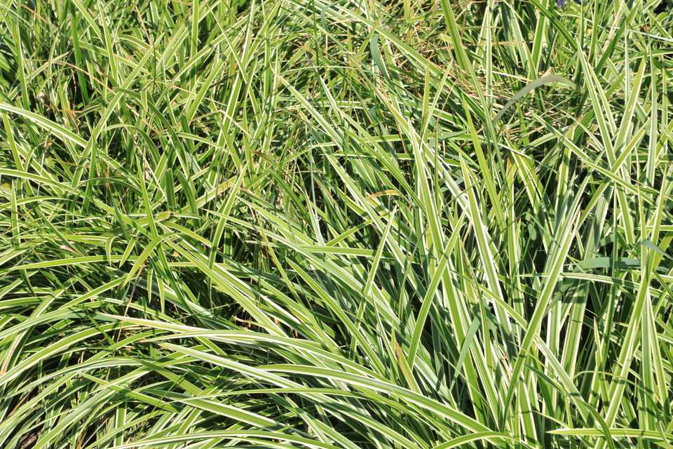 Japanese sedge grass (carex morrowii)