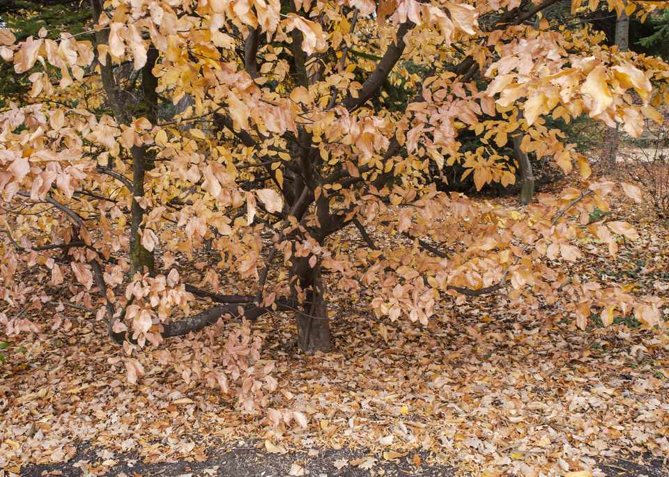 Persian ironwood tree with brown foliage on branches and brown leaves on ground