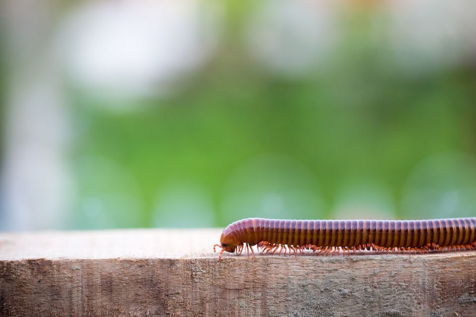 millipede moving on wood