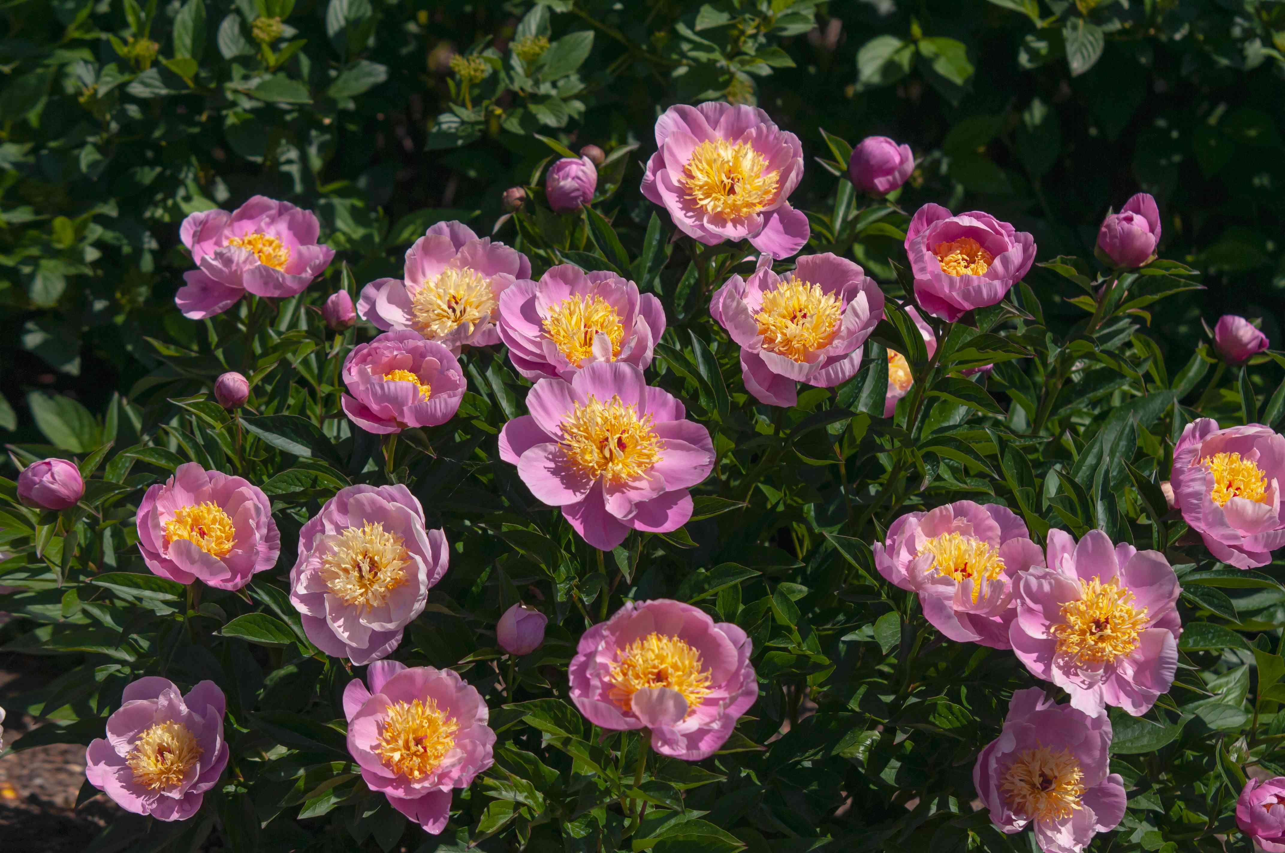 Pink peony plants in english garden in sunlight