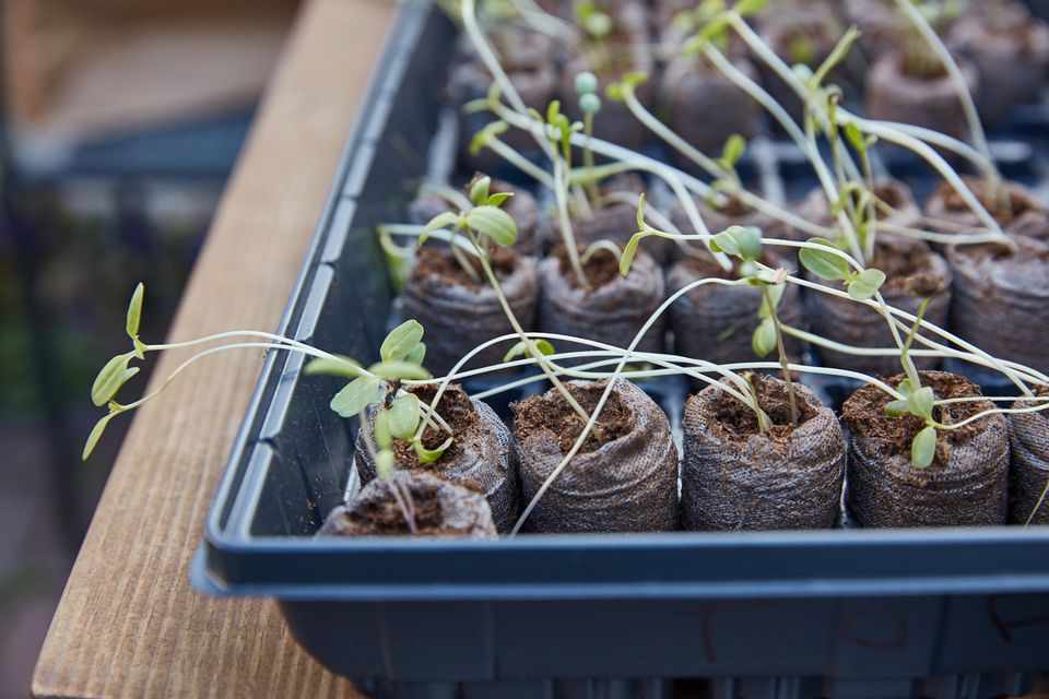 leggy vegetable seedlings