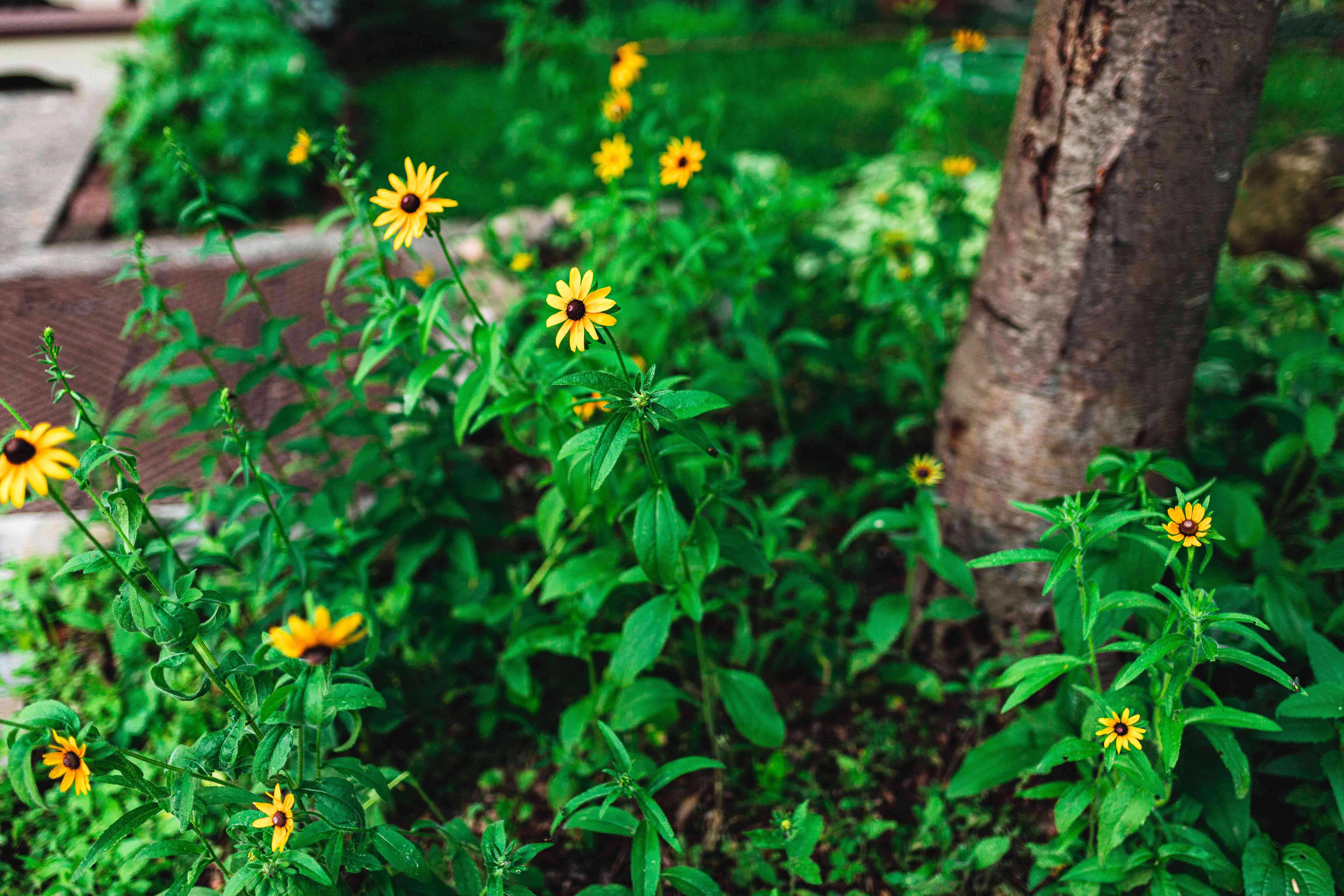 Black-eyed susan plant with yellow daisy-like flowers on stems with bright green leaves near tree base