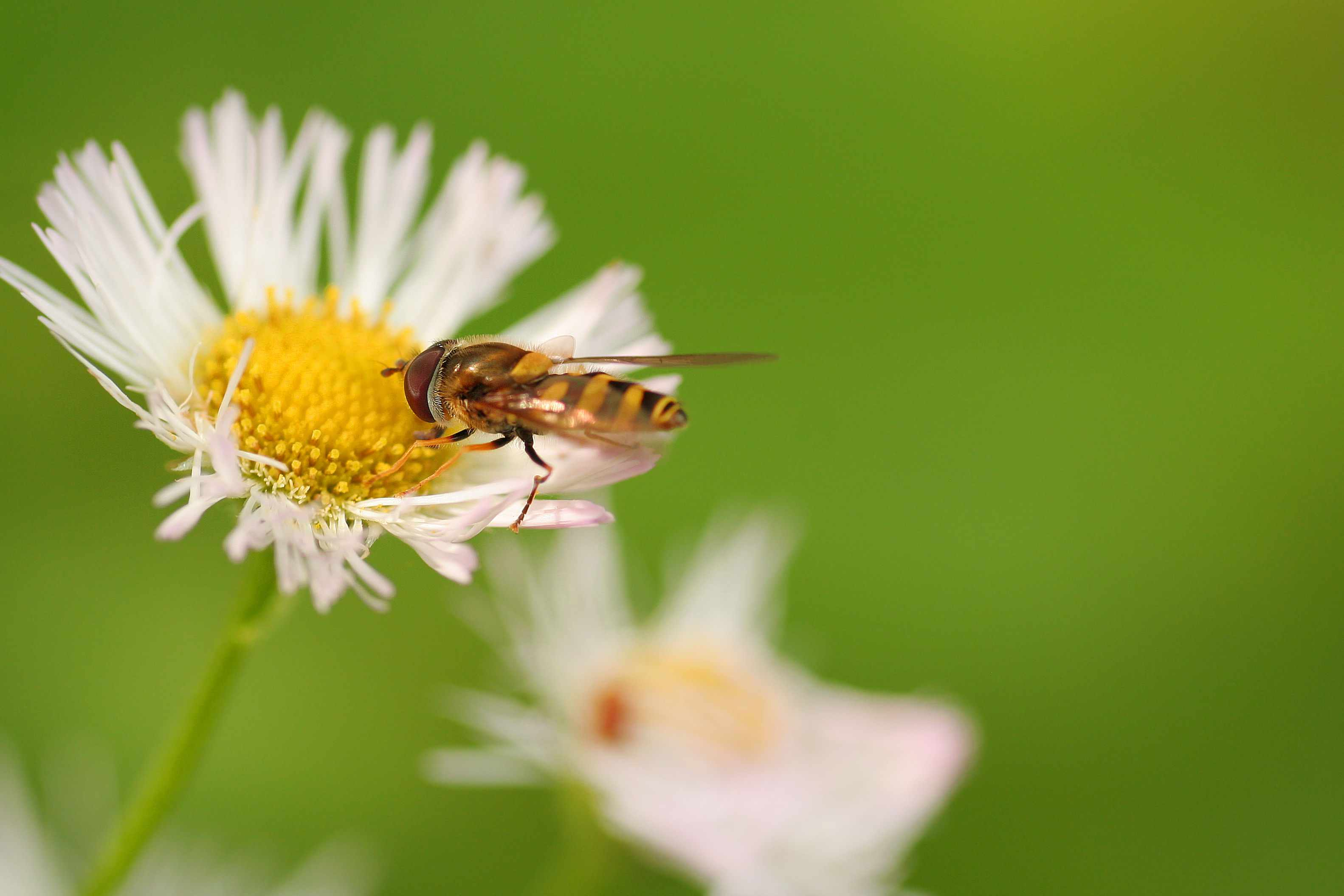 Hoverfly on Boltonia Asteroides