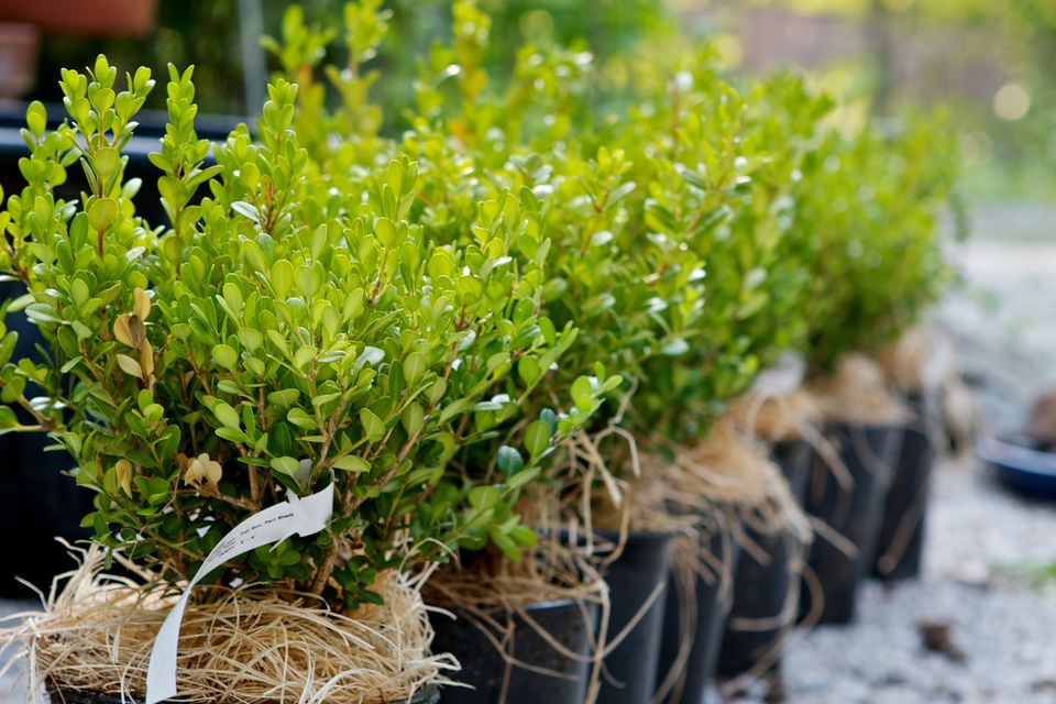A row of potted boxwood hedge plants