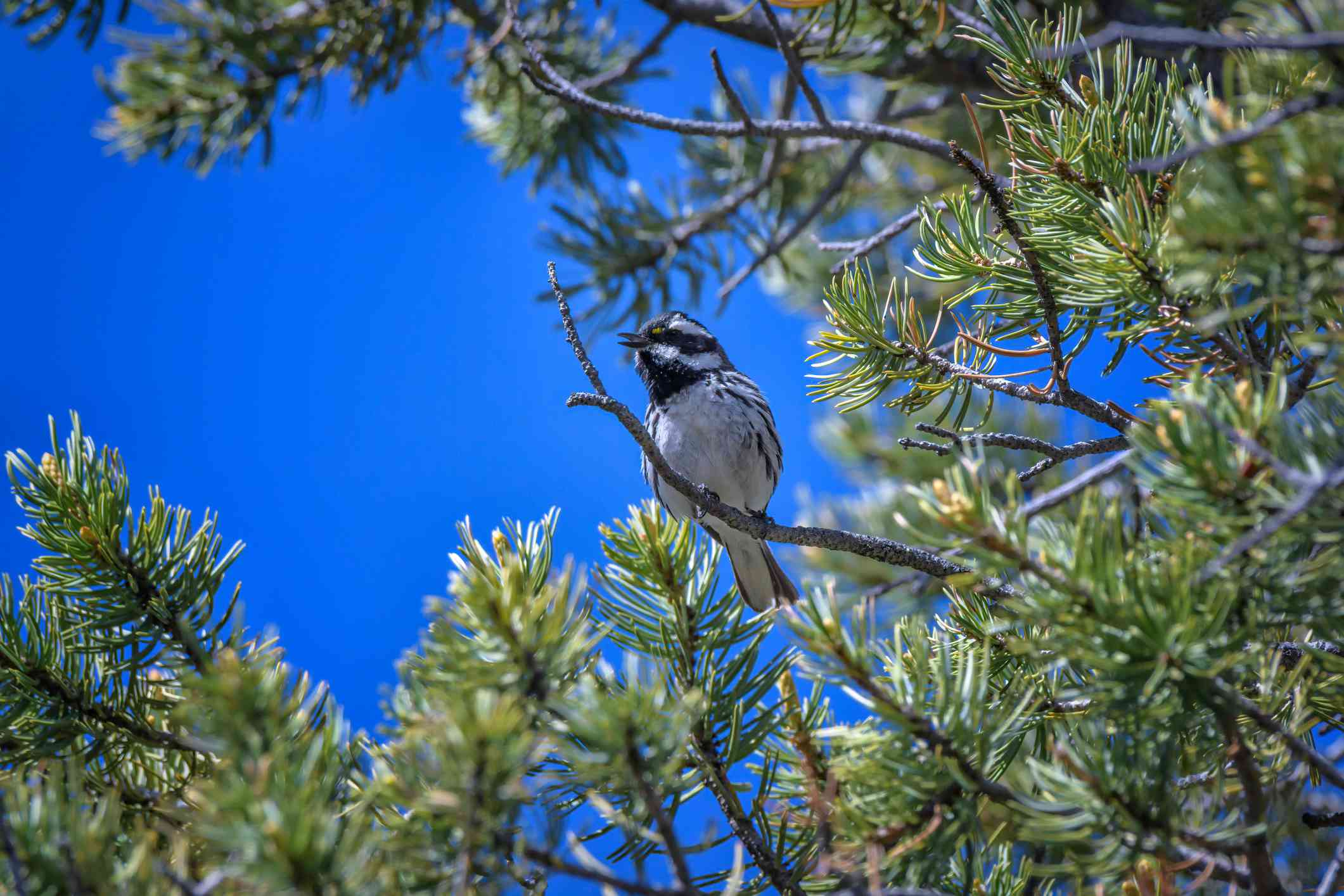 Black-throated Gray Warbler in pine tree in Santa Fe, New Mexico