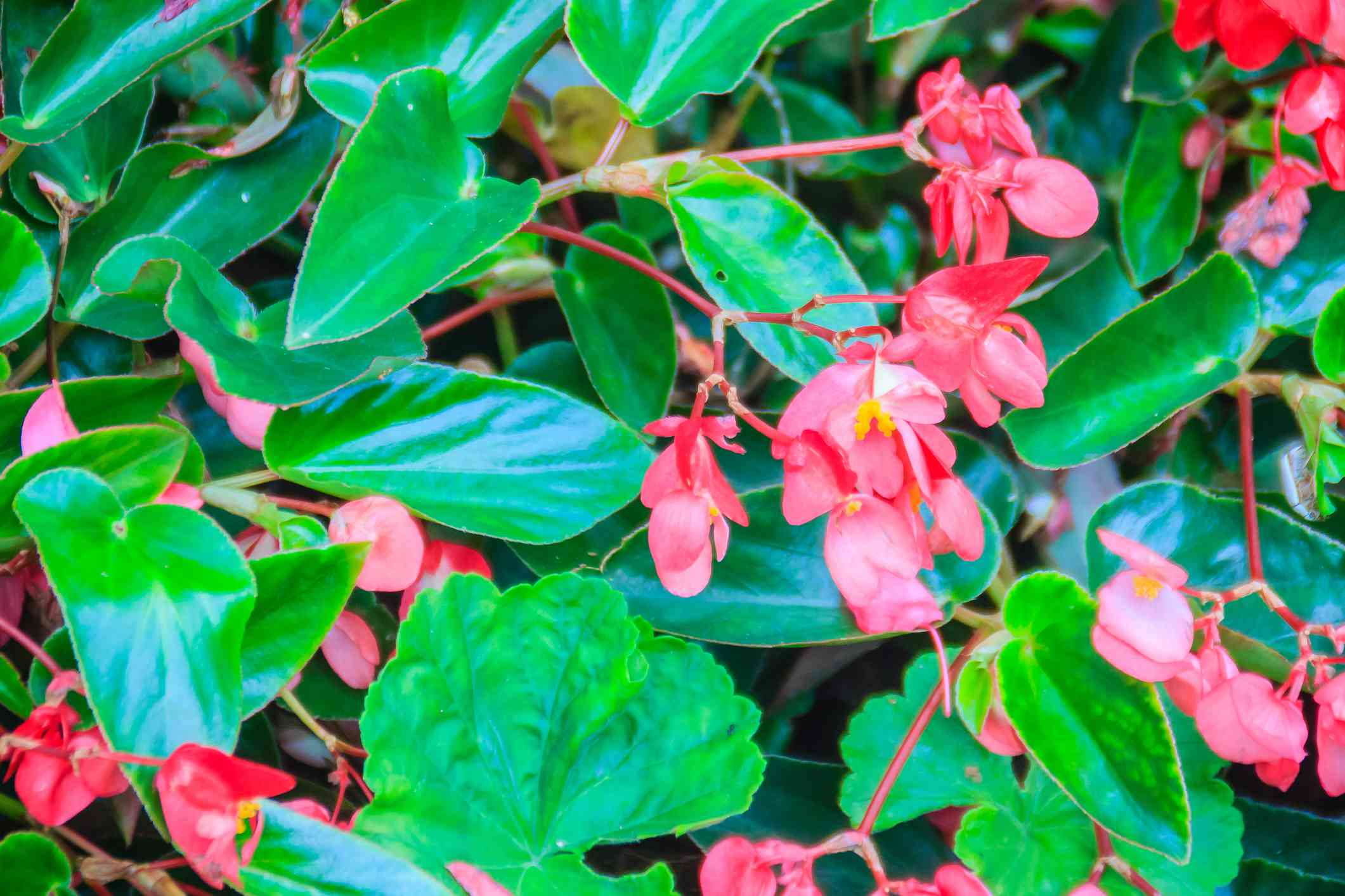 Pink scarlet begonia (Begonia coccinea) flower bush with green glossy background. Begonia coccinea is a plant in the begonia family, Begoniaceae. It is native to the Atlantic Forest of Brazil.