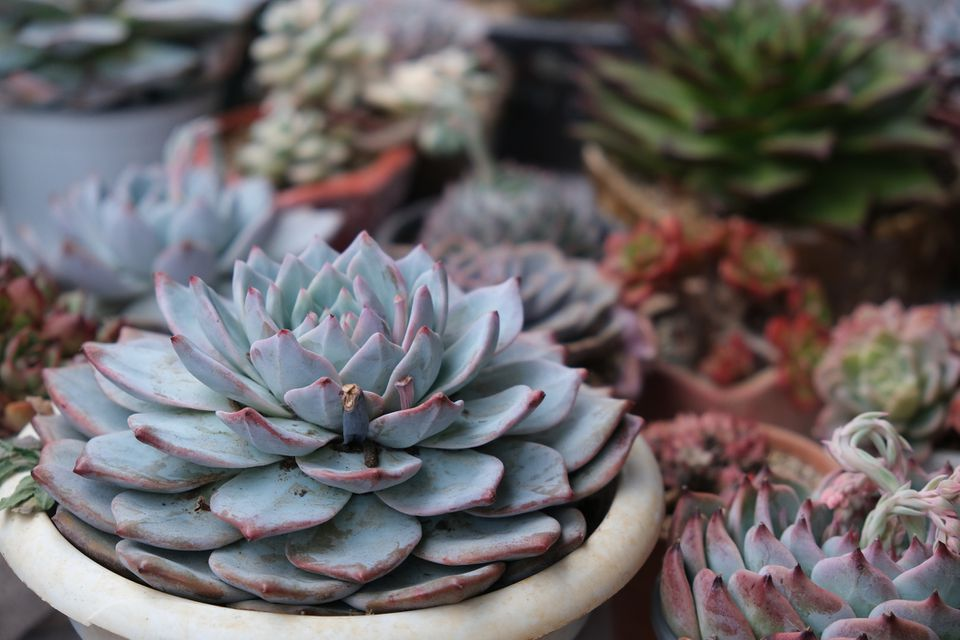 A variety of potted succulents including an Echeveria peacockii in the center of the image.