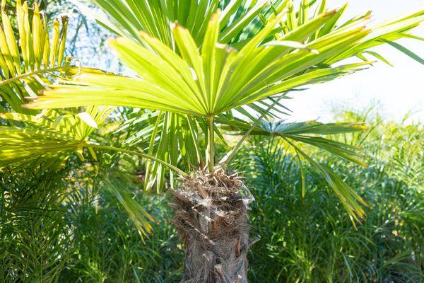 Windmill palm plant outside in sunlight
