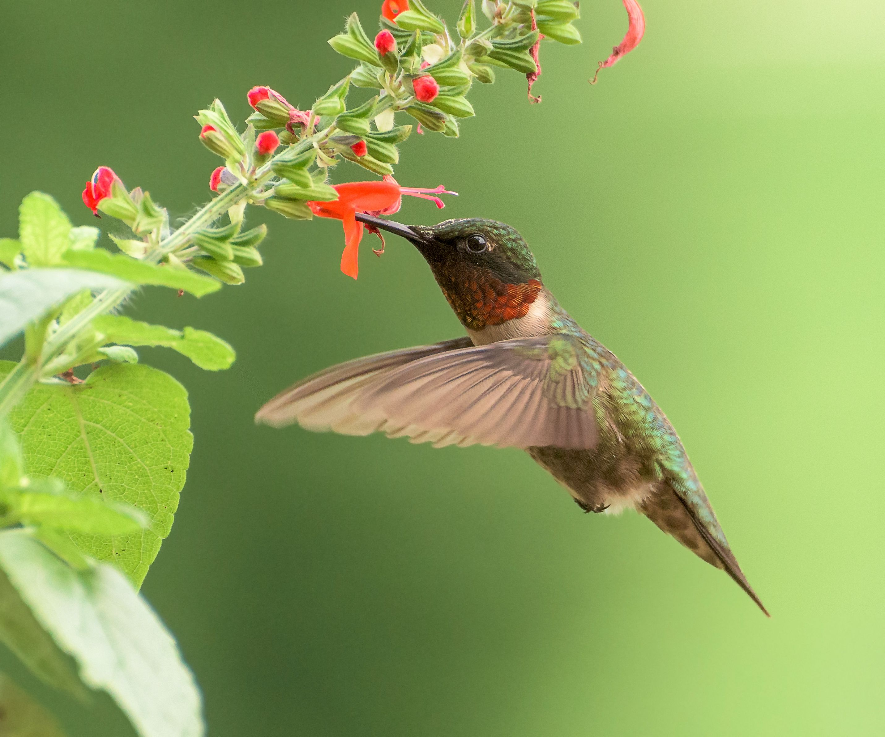 Ruby Throated Hummingbird Identification Diagrams
