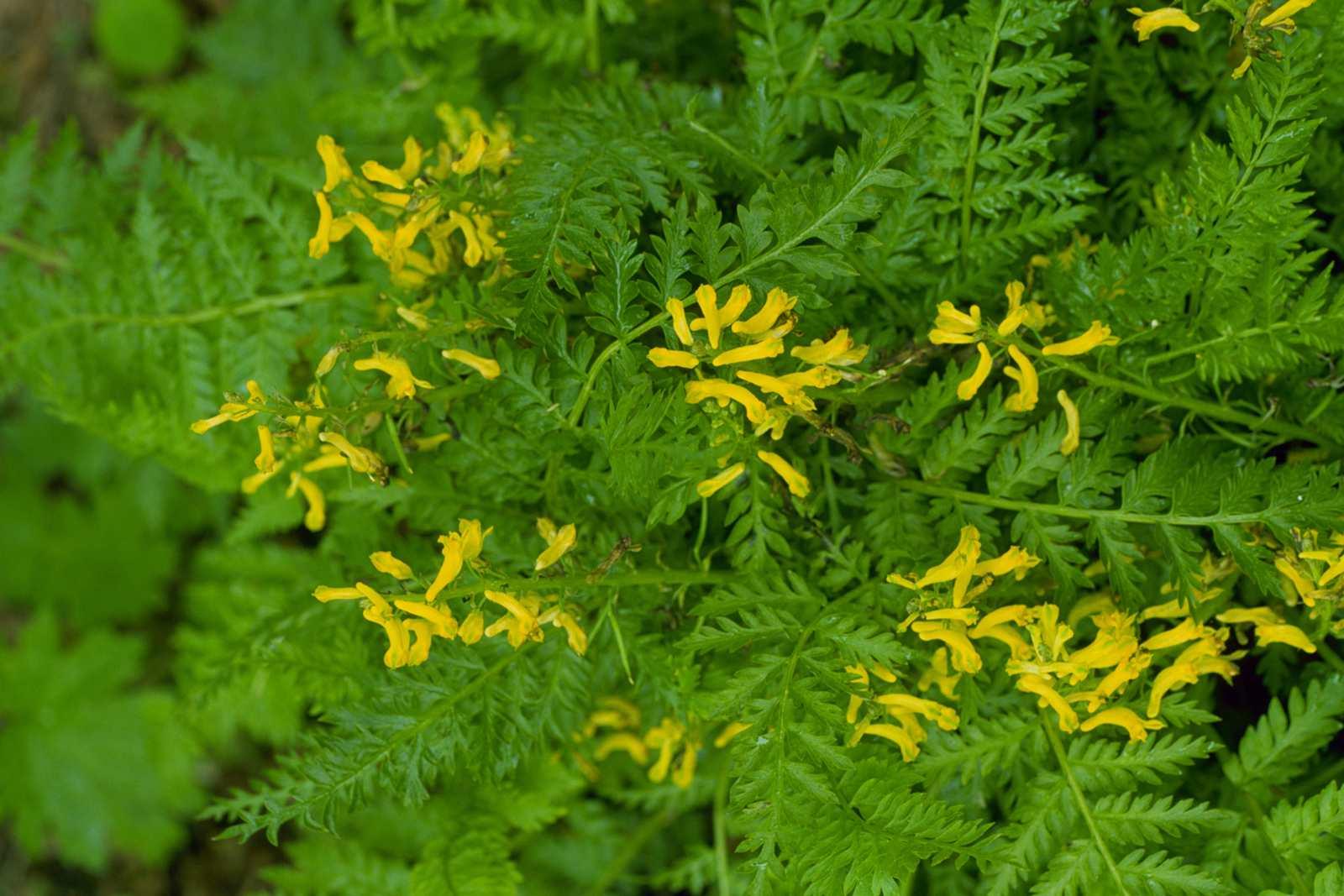 A closeup of Corydalis lutea
