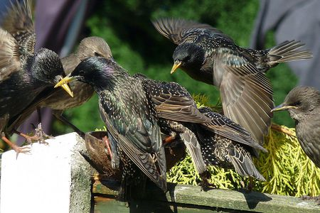 How To Get Rid Of Birds In Backyard get rid of starlings - quick tips