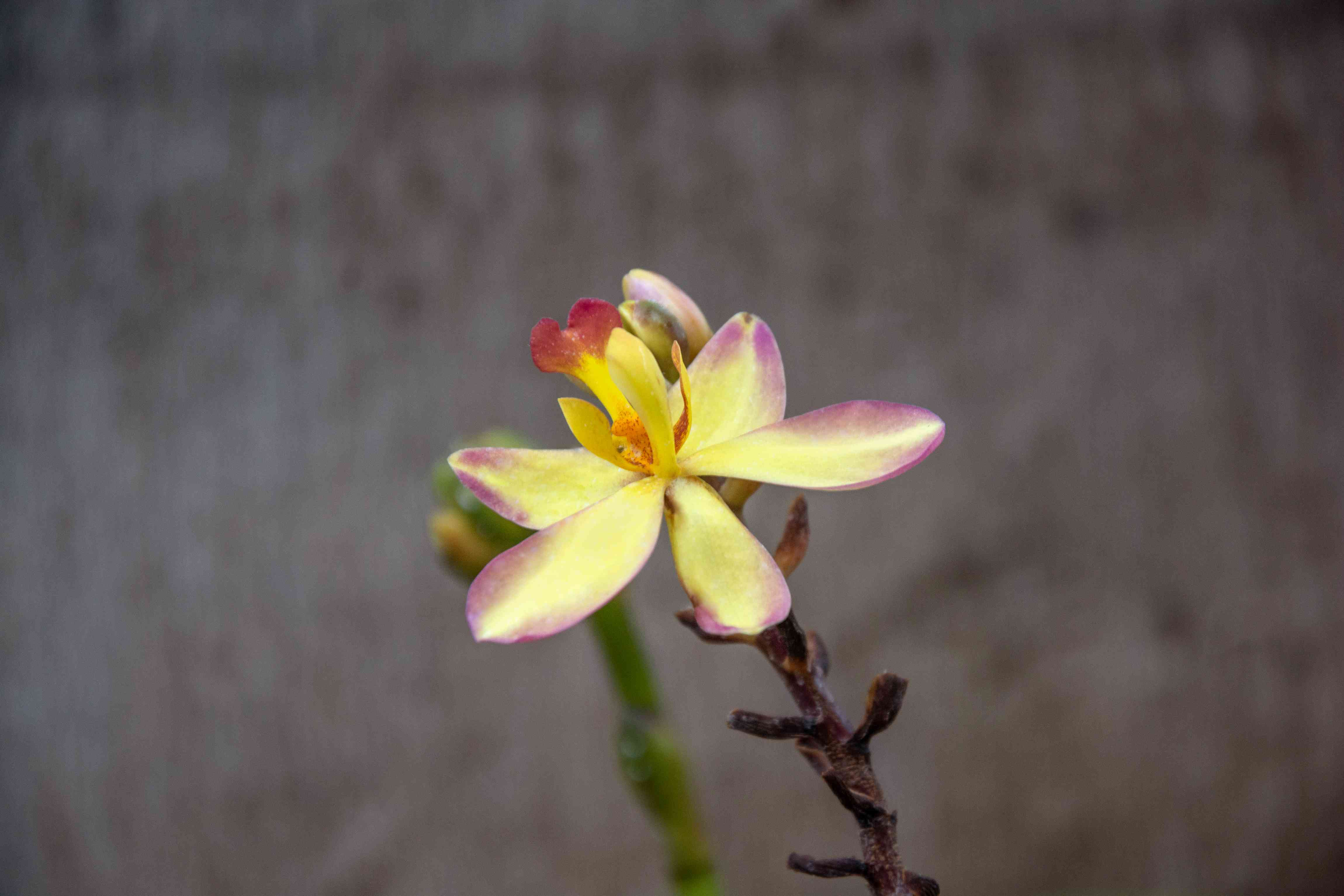 Spathoglottis orchid with yellow flower with pink tips on edge of stem closeup