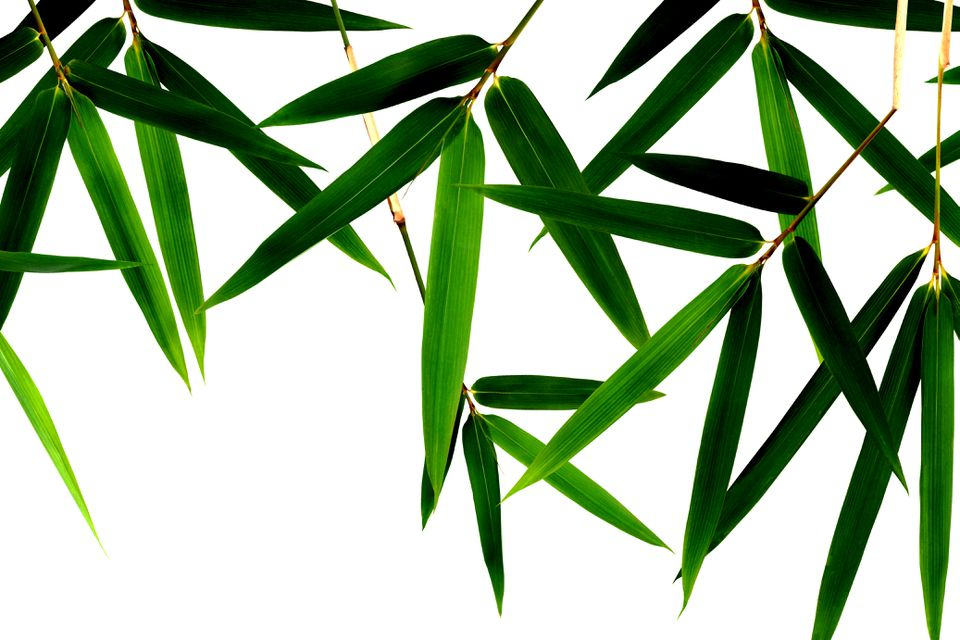 Bamboo leaves grown indoors with proper care