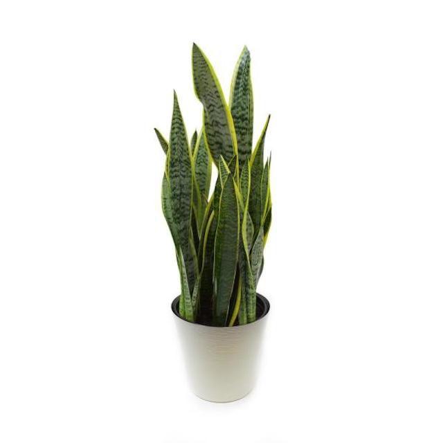Snake Plant in Grower's Pot