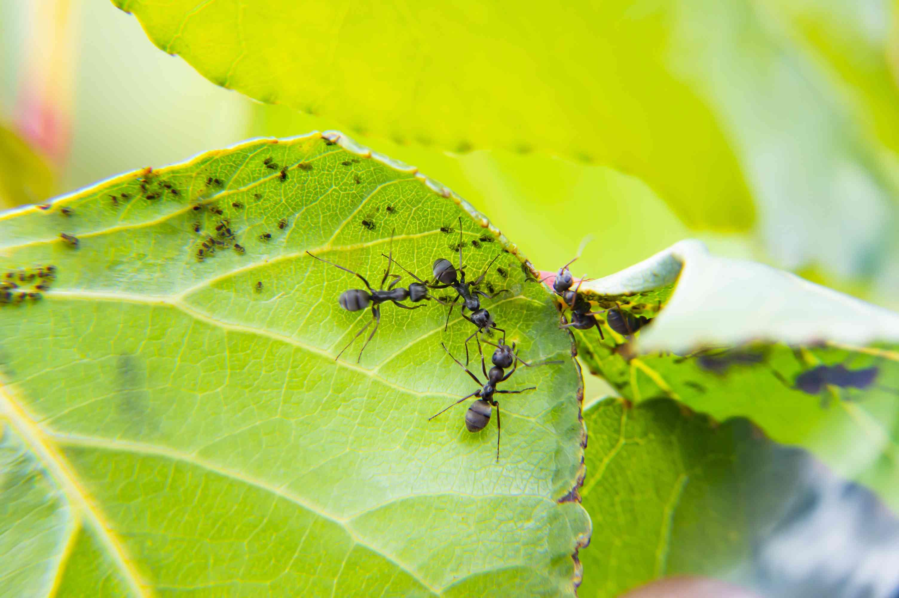 Carpenter Ants eating aphid honeydew