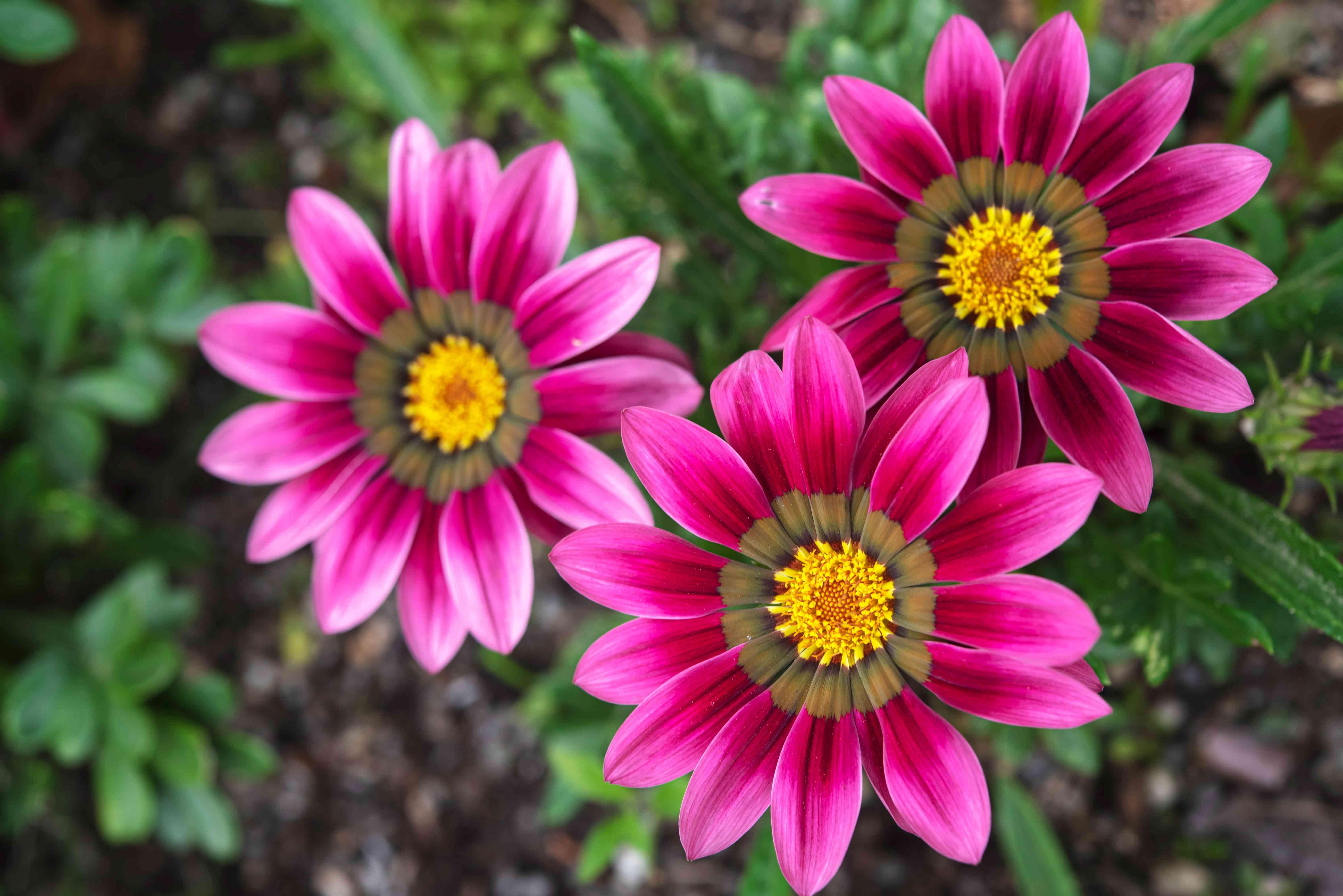 pink gazania flowers