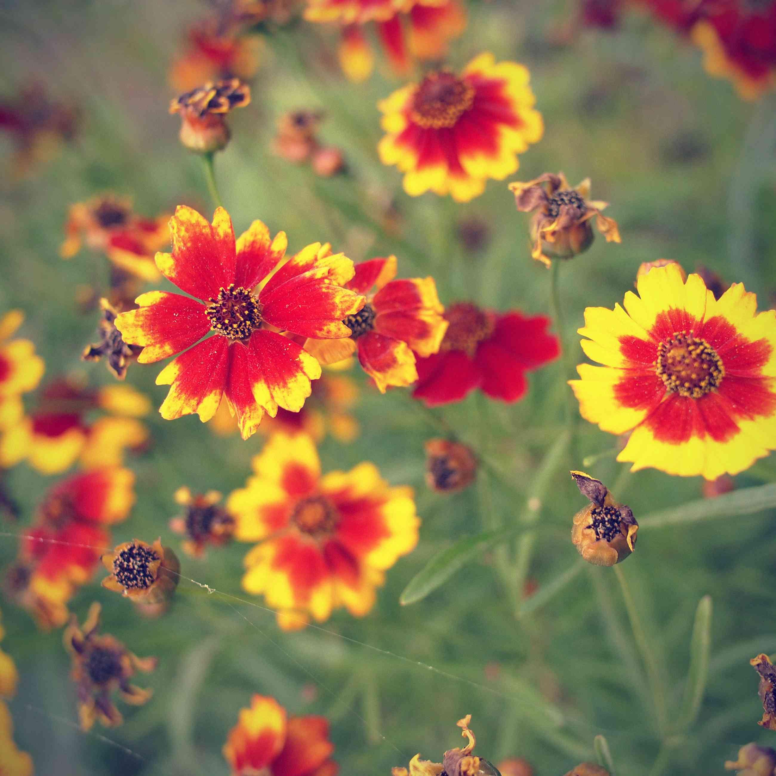 Foto retro de flores de coreopsis