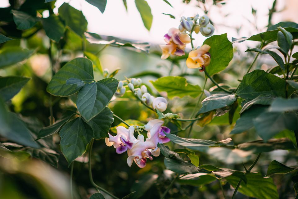 Vigna caracalla (corkscrew vine) flowers and leaves close up