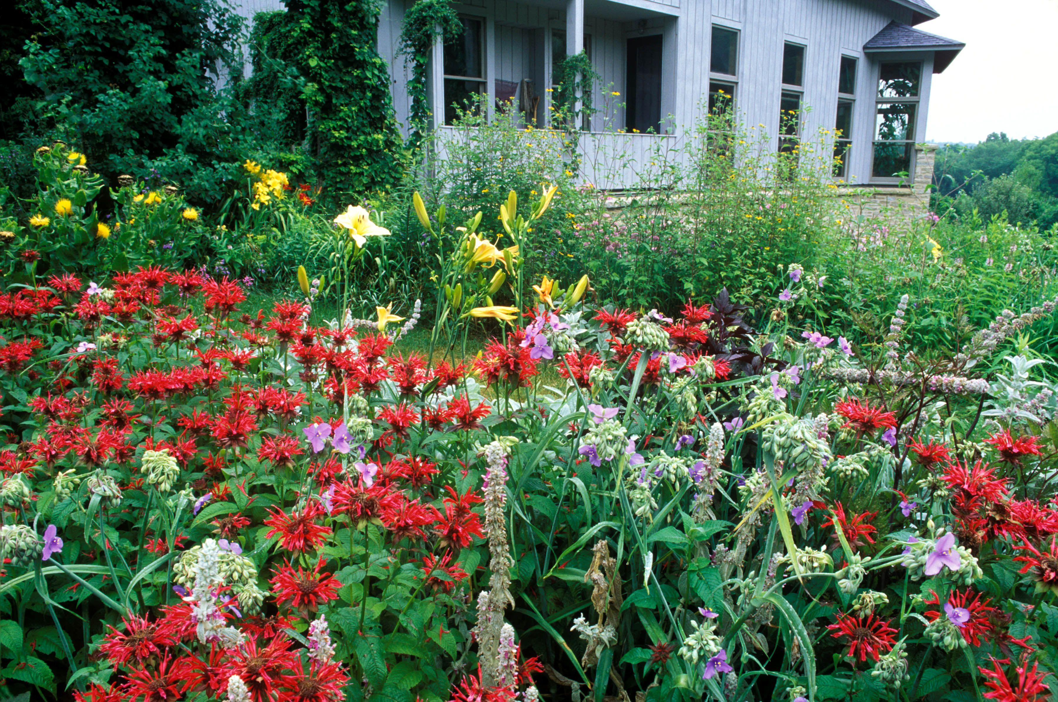 Flores rojas de Monarda