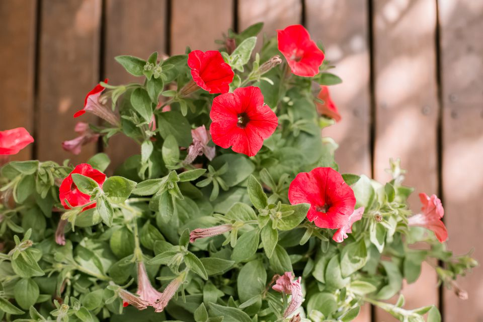 red petunias growing in front of a fence
