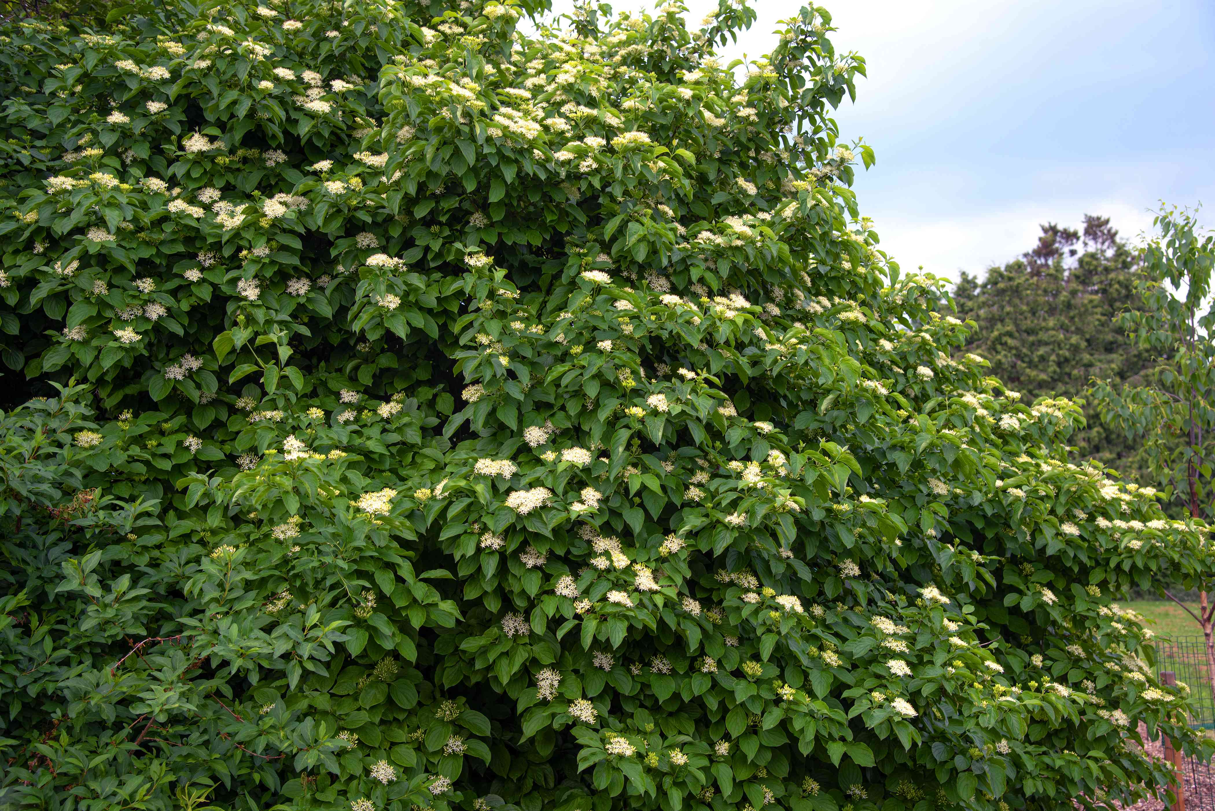 Silky dogwood shrub with dense branches of large leaves and white flower clusters