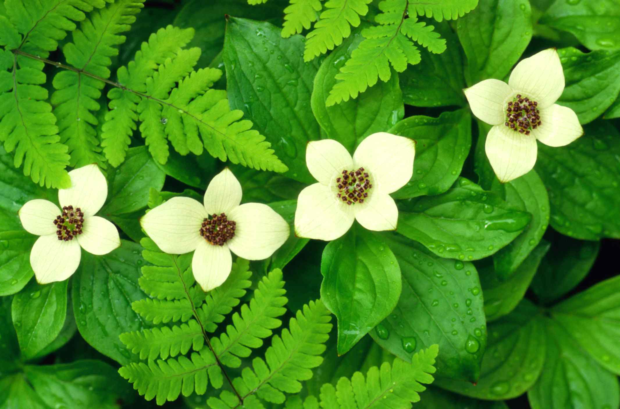 Cornus canadensis, a dogwood ground cover, in bloom.