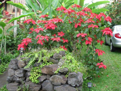 Poinsettia Shrub in Hawaii