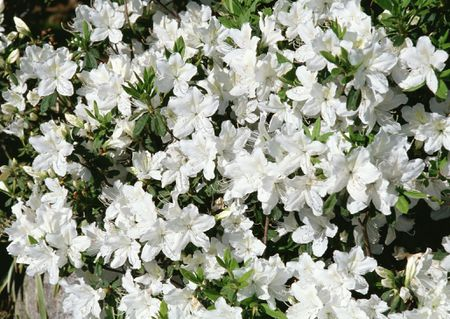 10 best shrubs with white flowers azalea in bloom with white flowers mightylinksfo