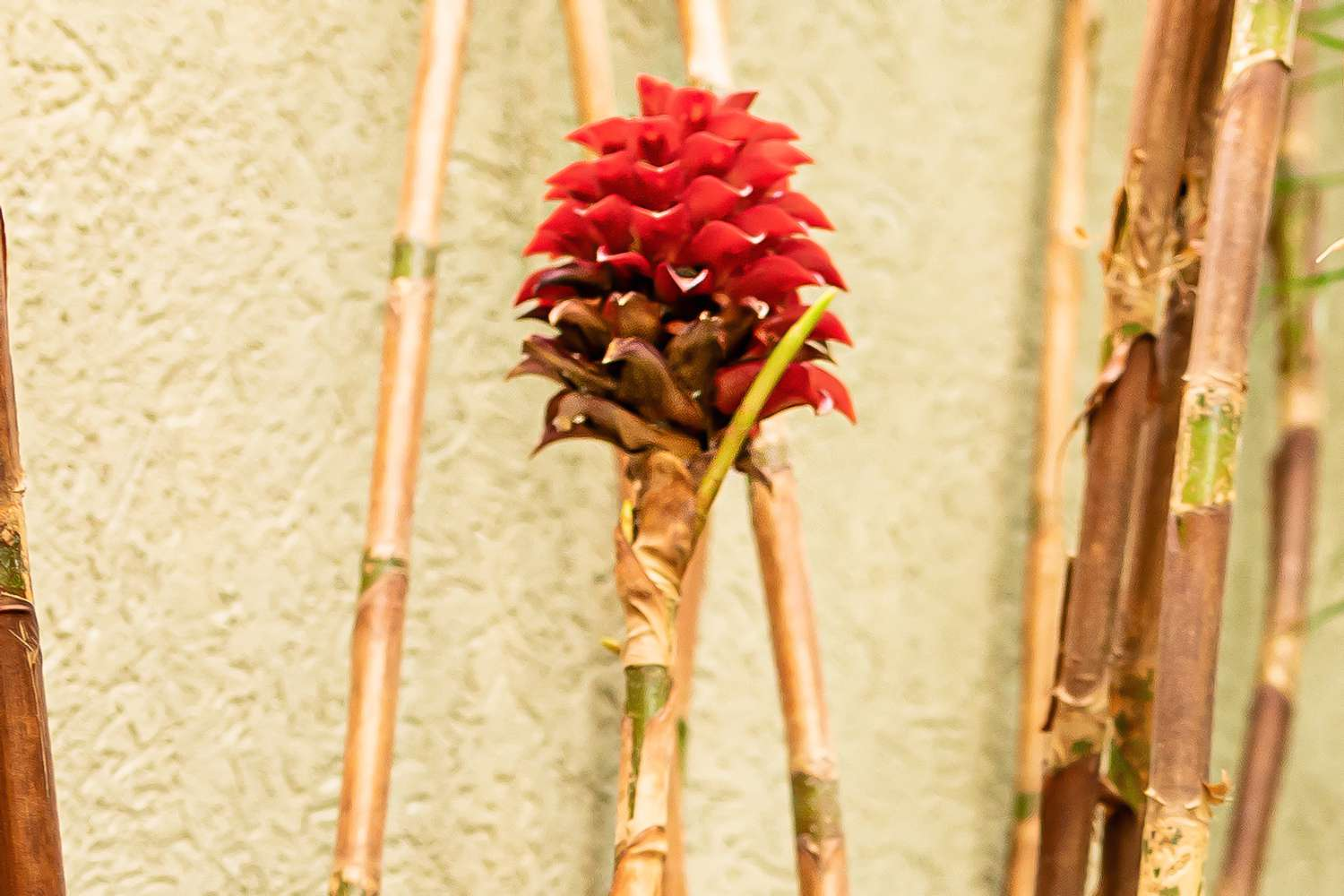 Pineapple ginger on reed-like stem with deep red flower bracts