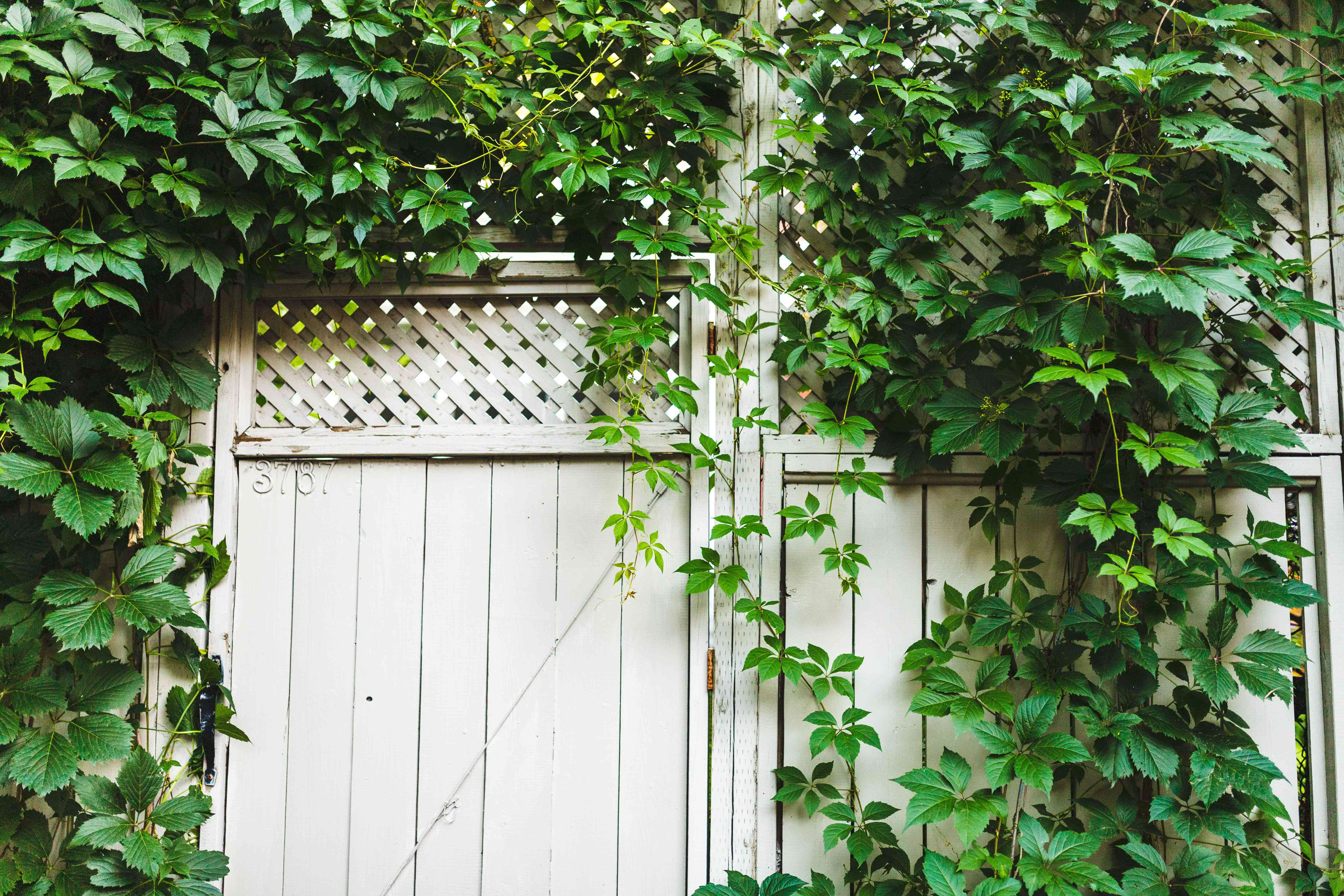 Virginia creeper vines with small leaflets covering white wooden fence