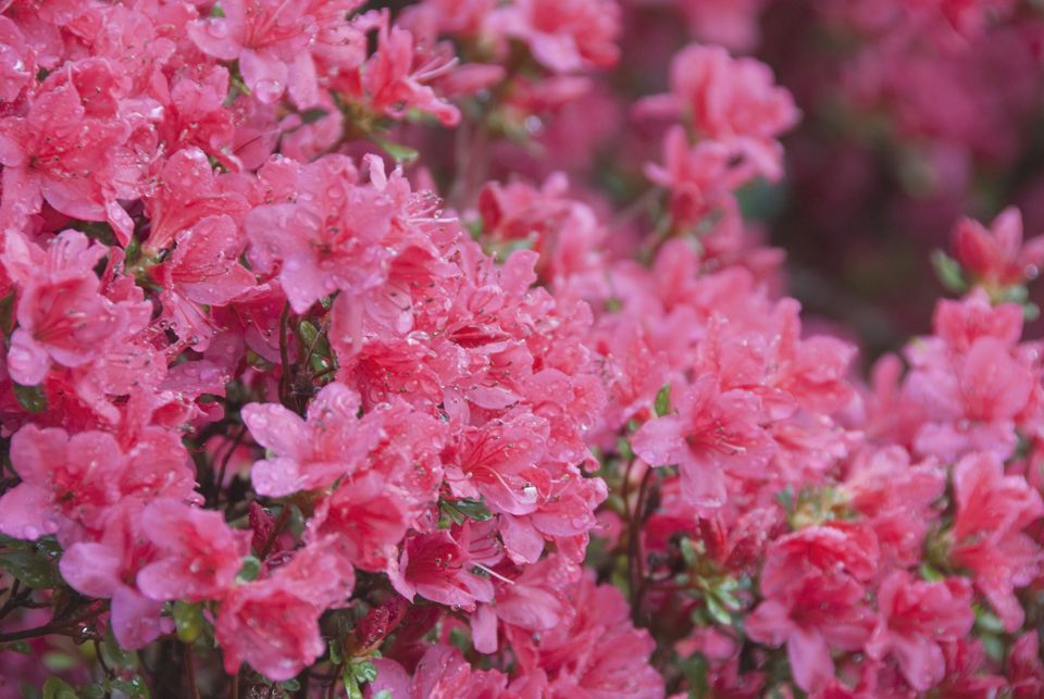 Sweet Azaleas (Rhododendron canescens)