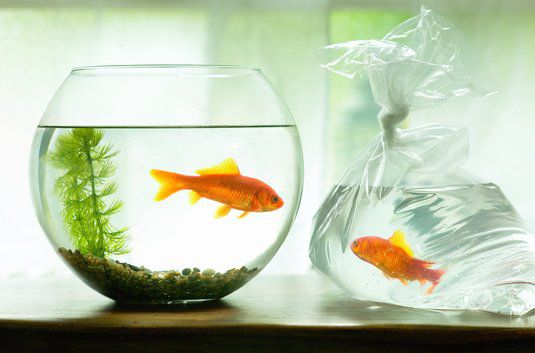 Two goldfish, one in a bowl, one in a bag