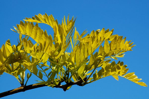 Sunburst thornless honeylocust
