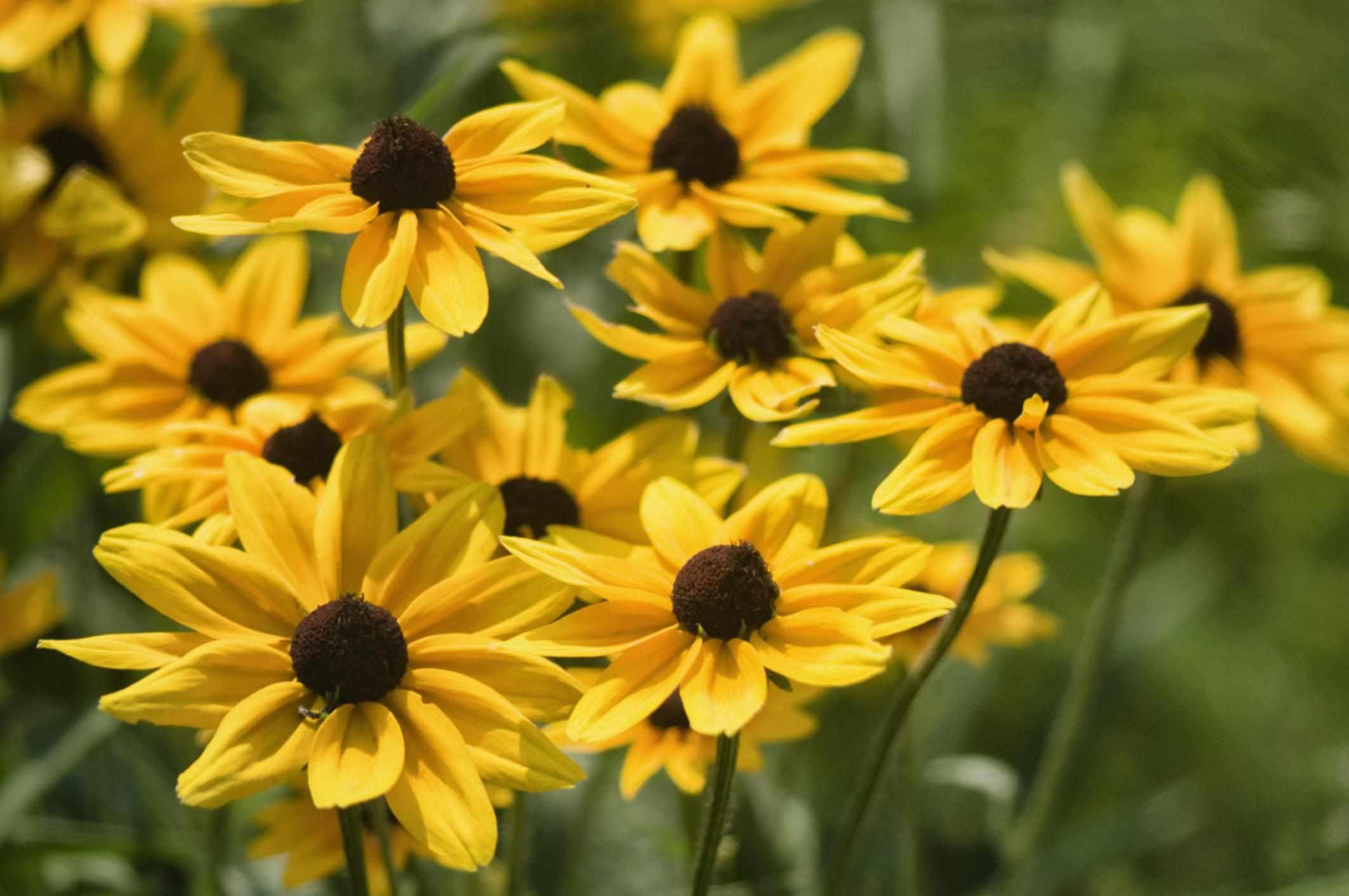 Rudbeckia Daisy Flowers. Black-Eyed Susan