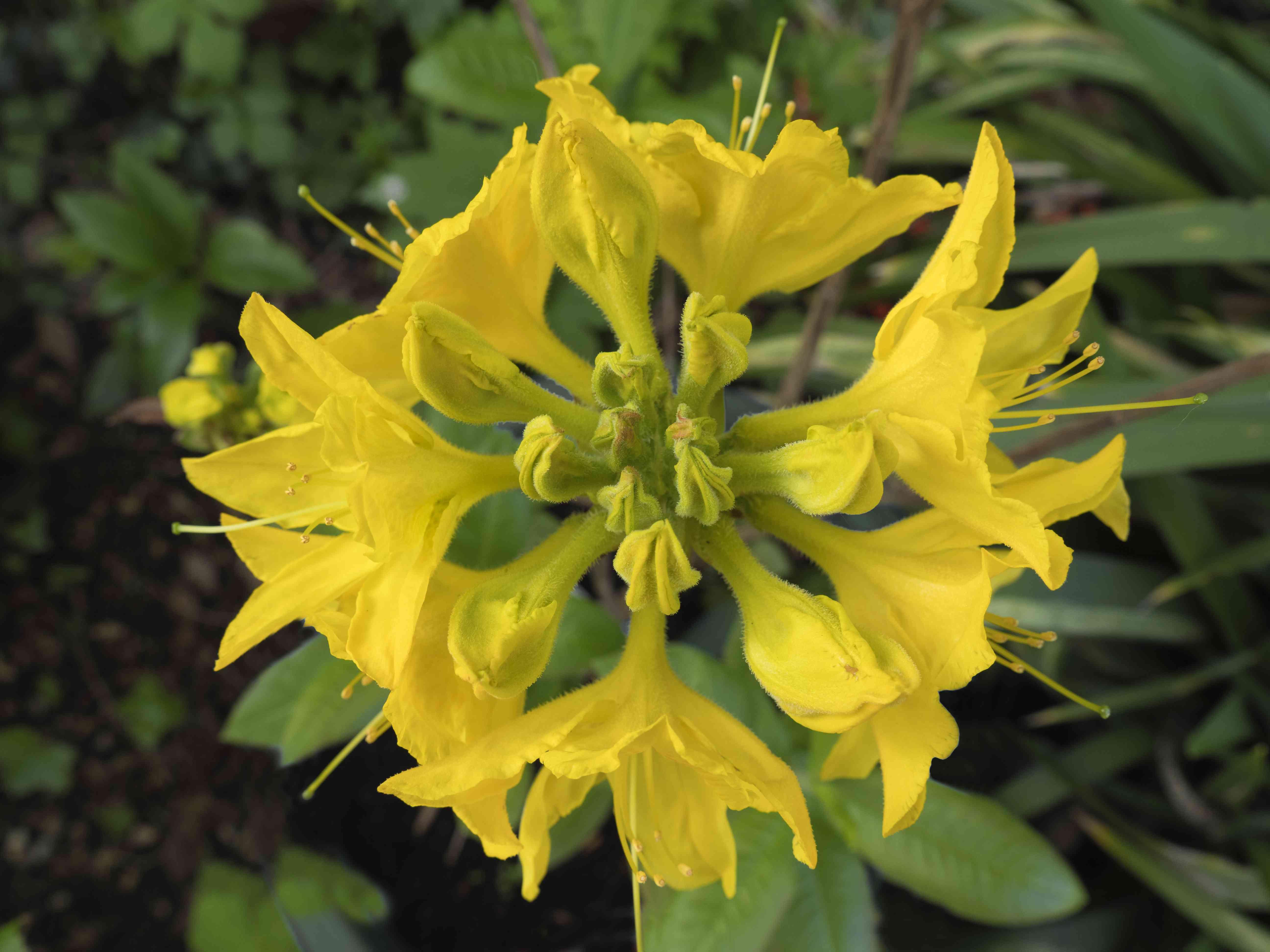 The 'Lemon Lights' azalea with yellow flowers